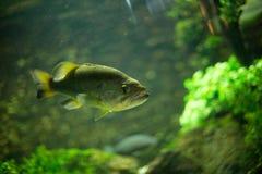 Piranhas плавая в аквариуме Стоковое Изображение