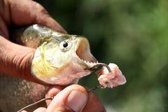Piranhas рыбной ловли Стоковая Фотография