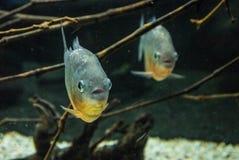 Piranhas фото в воде Стоковое Изображение RF