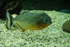 Piranhas фото в воде Стоковое Фото