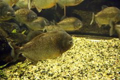 Piranhas Royalty Free Stock Images