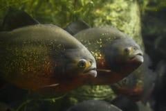 Piranhas Fotos de Stock Royalty Free
