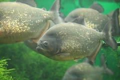 Piranhas Royalty Free Stock Image
