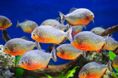 Piranhas Royalty Free Stock Photo