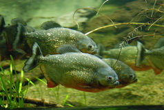 Piranhas. A school of piranhas an aquarium tank royalty free stock photos