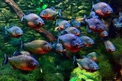 Piranhas Stock Photos