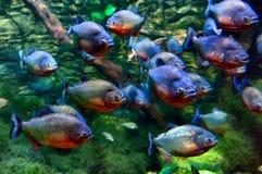 piranhas Стоковое Изображение
