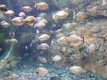 piranhas Imagens de Stock Royalty Free