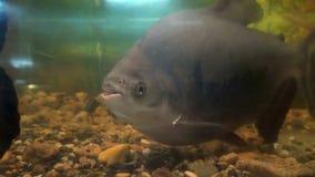 Piranhas in the aquarium stock footage