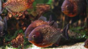 Piranhas in Aquarium. Few piranhas in Aquarium,  Russia stock footage