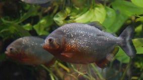 Piranhas in aquarium stock video