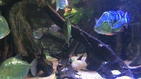 Piranhas em um aquário Close-up video estoque
