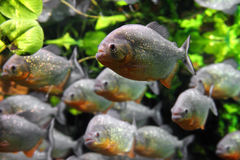 Piranhas fish. Close-up photo of piranhas fish underwater Stock Photos