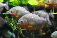 Piranhas fish Royalty Free Stock Photo