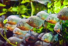 Piranhas fish royalty free stock photos