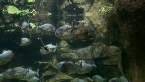 Piranhas fish underwater stock video