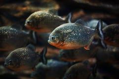 Piranhas im Aquarium lizenzfreies stockfoto