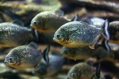 Piranhas im Aquarium stockbild