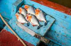 Piranhas just catched from the river Royalty Free Stock Image