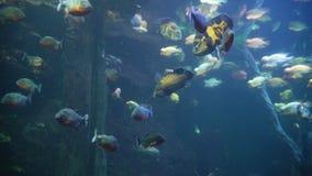 Piranhas in the aquarium among Amazonian aquatic stock footage