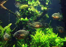 Piranhas Royalty Free Stock Photography