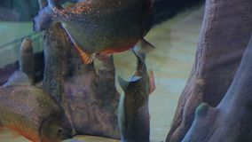 Piranhas que nadam em torno das rochas filme