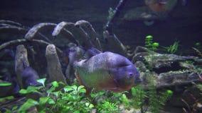 Piranhas schwimmen in Frischwasseraquariumvorrat-Gesamtlängenvideo stock video