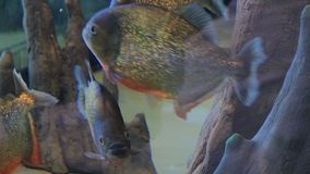 Piranhas swimming and eating. Pellets stock video