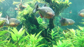 Piranhas Swimming stock video