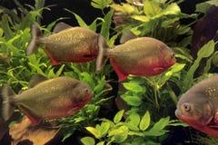 Piranhas Stock Images