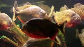 Piranhas vermelhas no aquário vídeos de arquivo