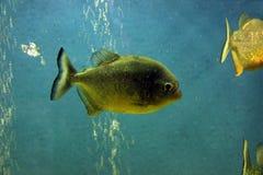 Piranhavissen Royalty-vrije Stock Afbeeldingen