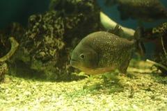 Piranhavissen Royalty-vrije Stock Foto's