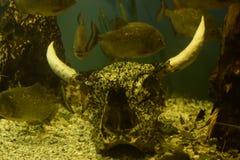 Piranhavissen Stock Afbeelding