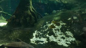 Piranhavissen in oceanarium stock footage