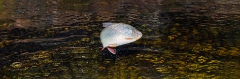 Piraputanga fish jumping out of the water stock images