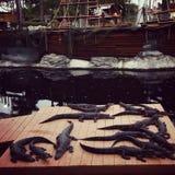 Piratów aligatory i statek Zdjęcia Stock