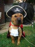 Pirat Shar Pei lizenzfreie stockfotos