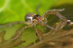 Pirata piraticus wolf spider on water surface Royalty Free Stock Images