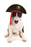 Pirate Dog Stock Photography