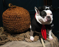 Pirate Dog. A French bulldog dressed up in a pirates outfit Royalty Free Stock Photo