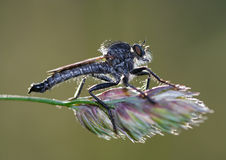 Pirate fly. Detail (close-up) of the robber fly royalty free stock photography