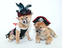 Pirate Puppies Royalty Free Stock Photography
