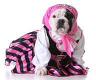 Pirate puppy Royalty Free Stock Images
