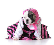 Pirate puppy Stock Images