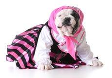 Pirate puppy. Dog dressed up like a pirate on white background - bulldog female Stock Photo
