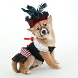Pirate Puppy. Stock Photos