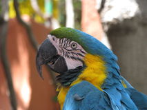 Pirate's parrot Royalty Free Stock Image