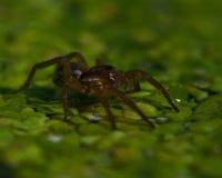 Piraticus Pirata паука Стоковые Изображения RF