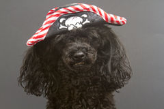 piratkopiera valpen Royaltyfria Bilder